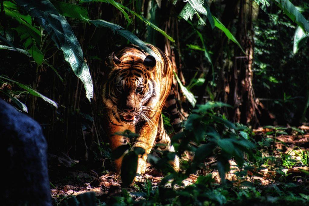 Tiger im Regenwald